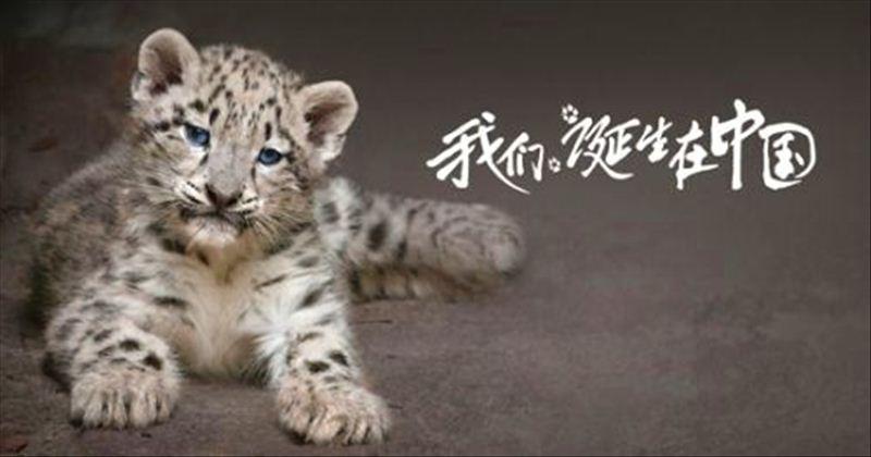 (《我们诞生在中国》中的雪豹) 还记得《我们诞生在中国》中雪豹达娃和她的两个孩子吗?毛头毛脑的小雪豹们萌爱了多少观众的心。雪豹因长相与猫有几分神似,人们亲切地称呼它为雪大喵。它身姿机敏,眼神犀利,在动物世界气质非凡,号称雪域之神、高山霸主。它生活于世界最高海拔的雪域高原,雄踞在冰封雪岭之上,北山羊是它的最爱美食。它行踪诡秘,难觅踪迹,只见豹皮,不见豹影来形容它,再合适不过了。