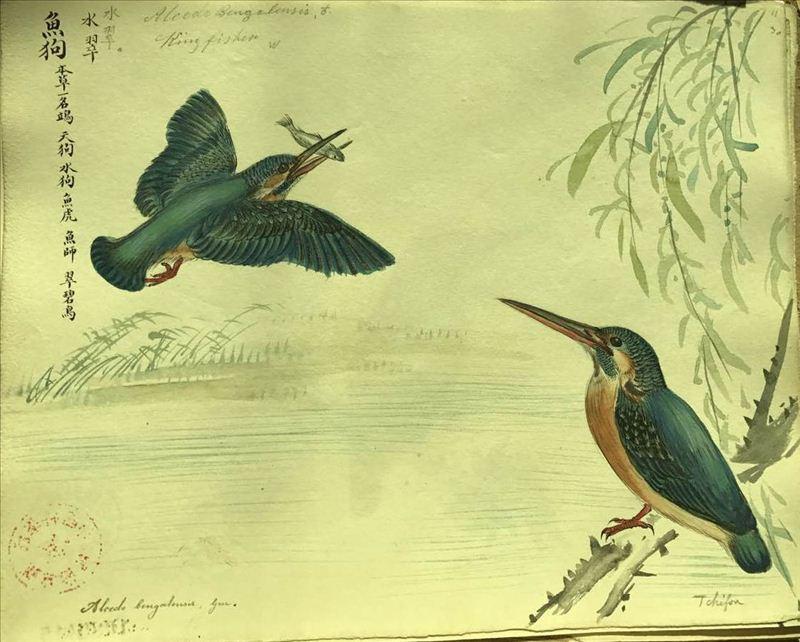 传教士手绘鸟类标本图