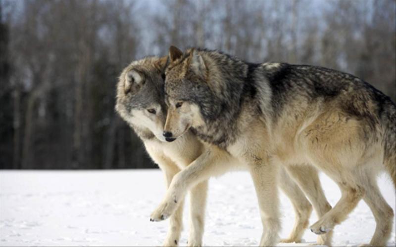 看看哈士奇的样子,就知道狼群有多可爱:  更难能可贵的是,2016年10月