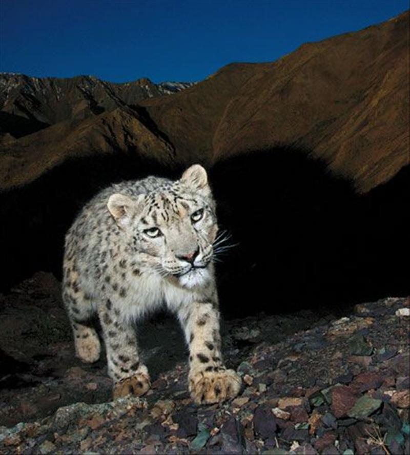 雪豹是不是四川野生动物世界整体数量也很稀少.