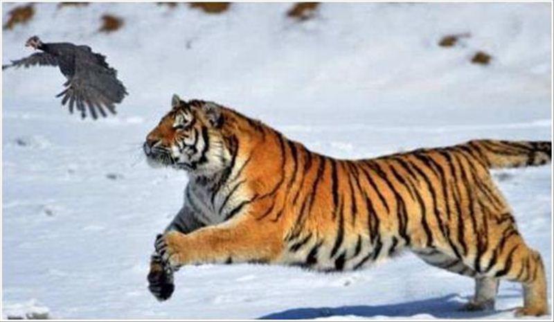 微信头像风景动物老虎