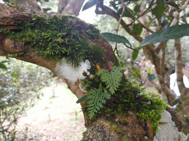 茶树枝干上长满苔藓,藤蔓,野生菌类和许多寄生兰花等附生植物,就像