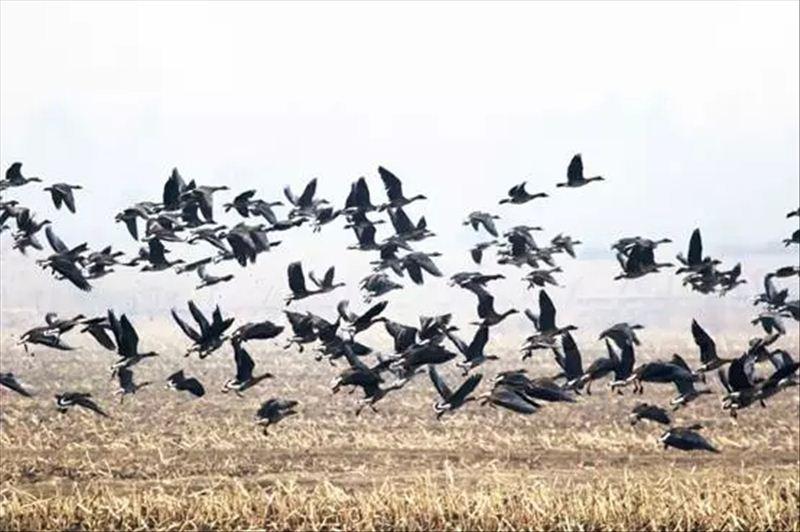 图5:吉林珲春敬信湿地大雁米稻田里的大雁.jpg