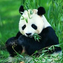大熊猫.jpg